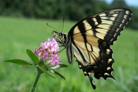 Permalink to:Butterflies